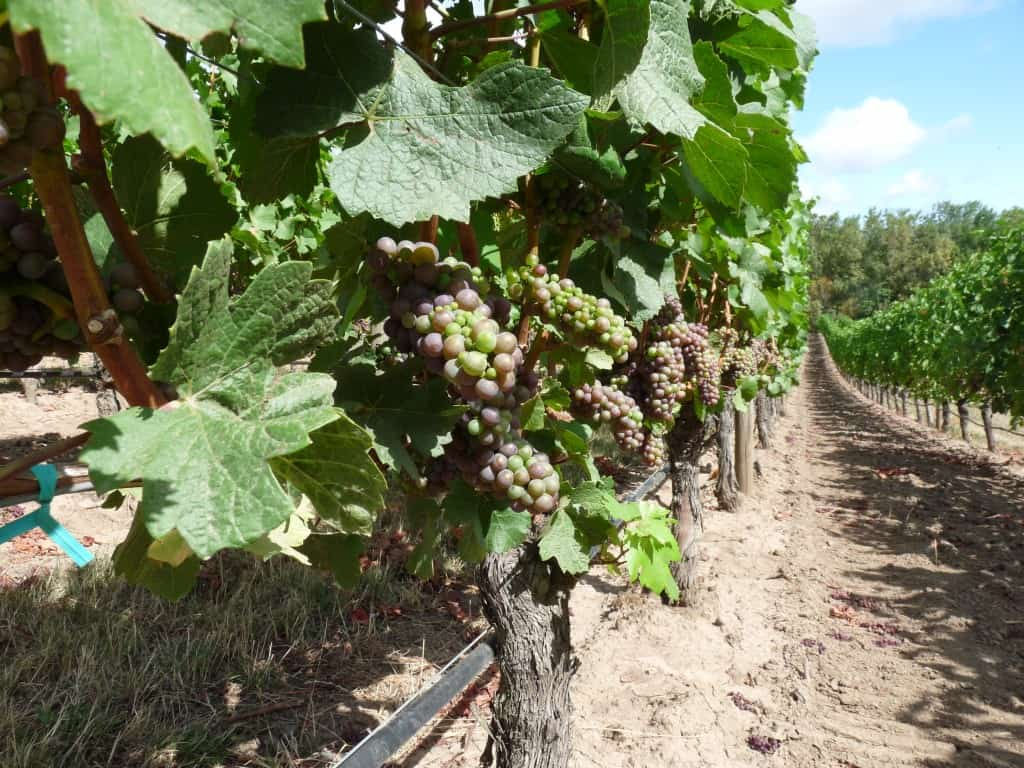dry farming wine