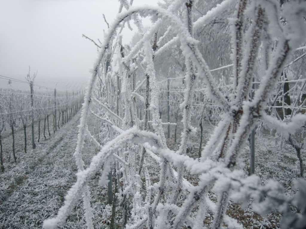 2016 vineyard frost