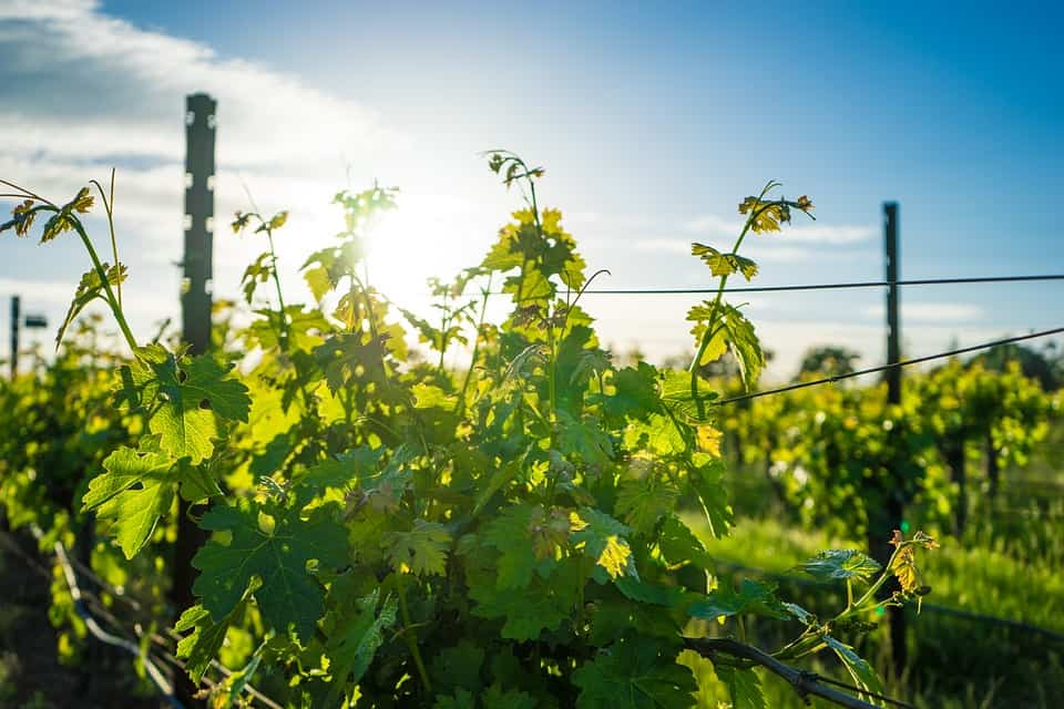 Global Warming's Impact on the Wine Industry