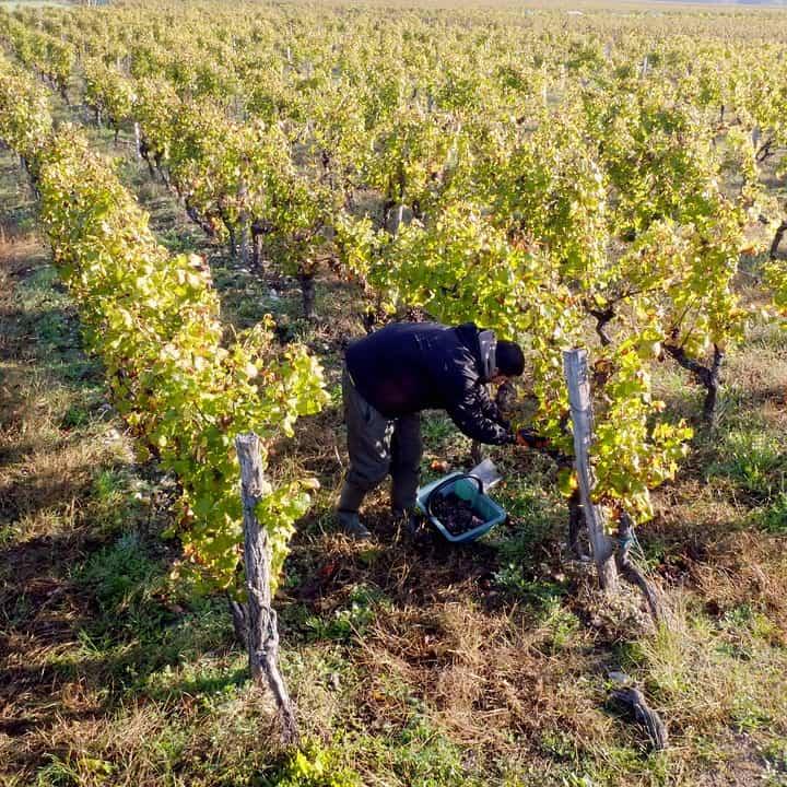 Bordeaux 2017 Harvest