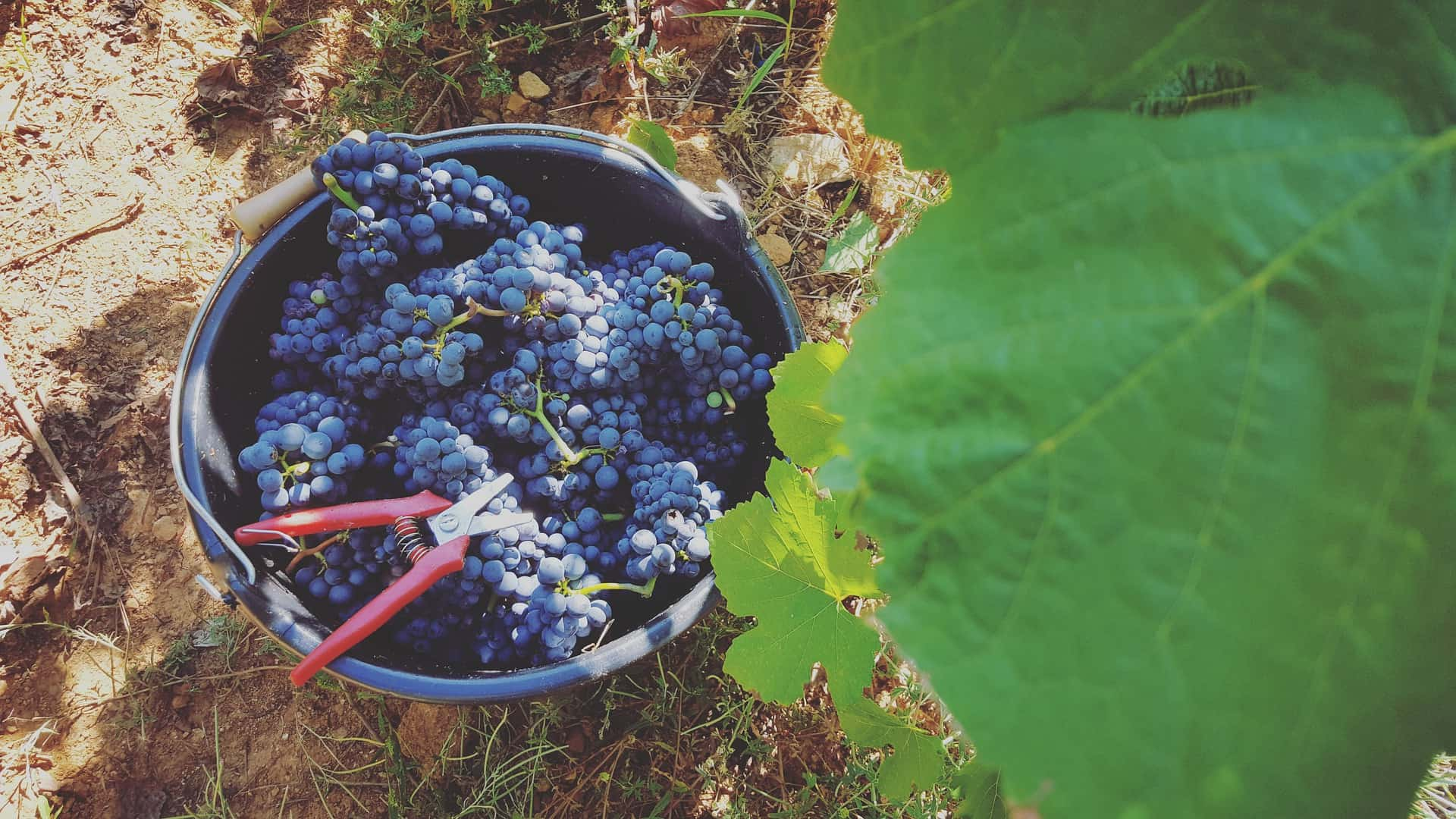 The 2019 Burgundy vintage is ripe and concentrated