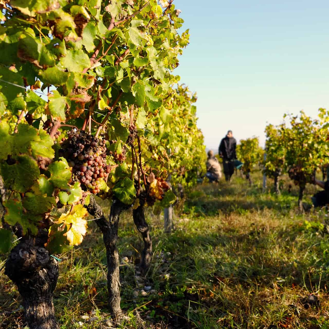The 2019 Bordeaux harvest was very successful