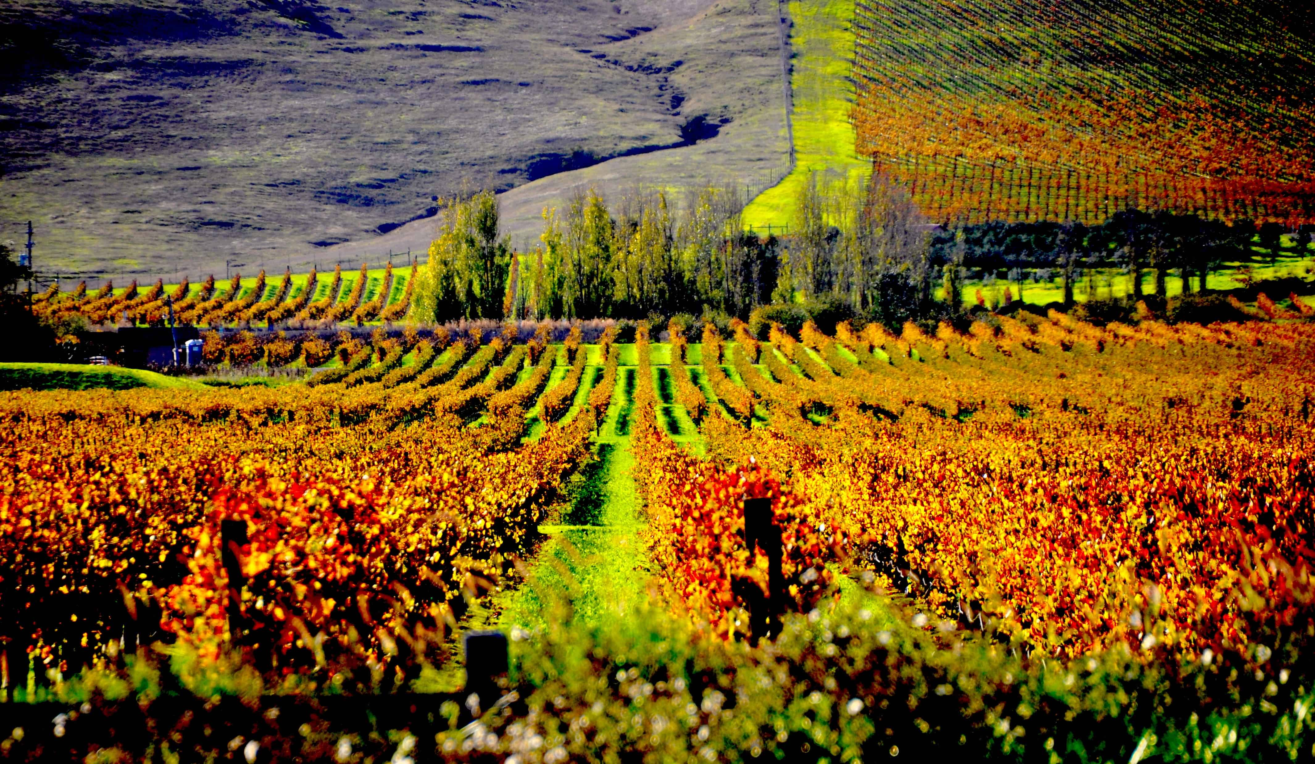 One of the most famous Sonoma wine appellations is Los Carneros