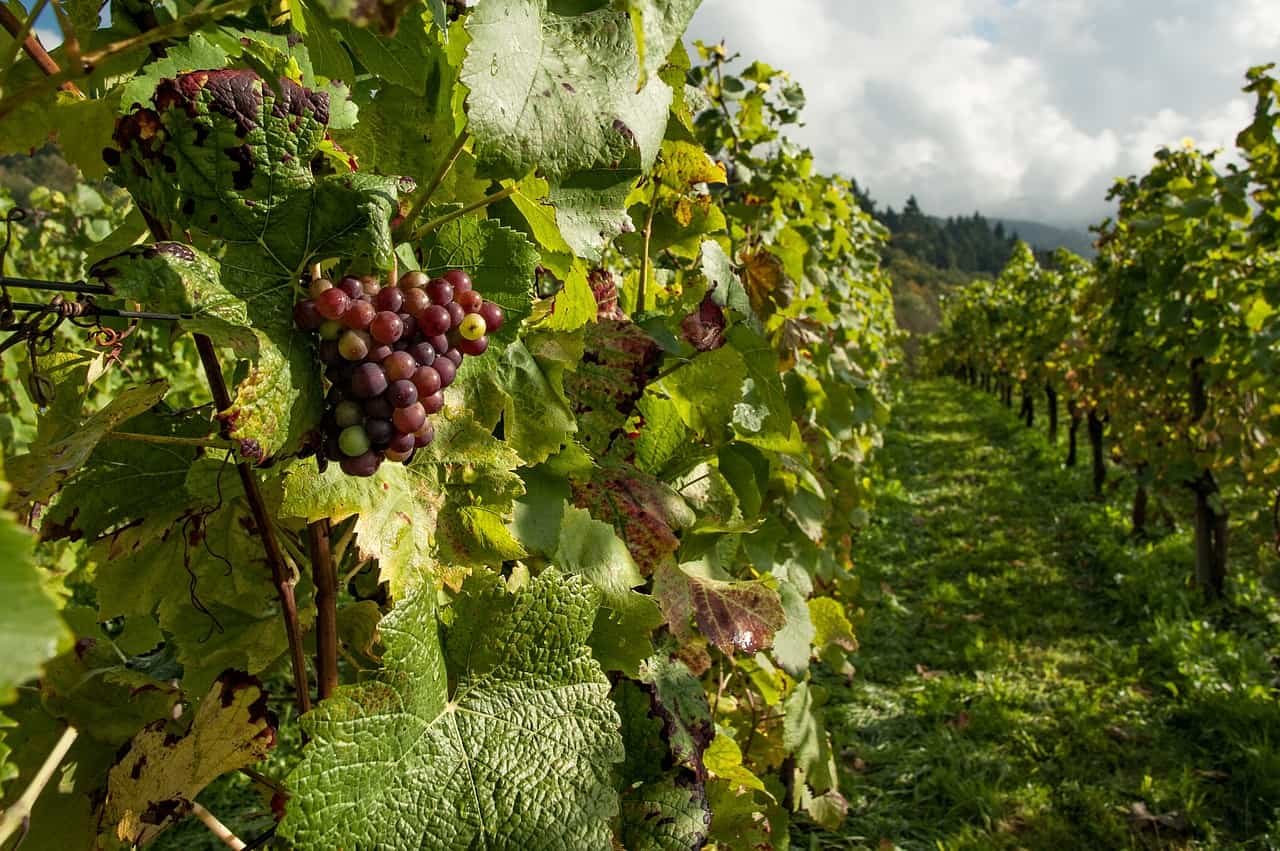 vineyard for winery direct